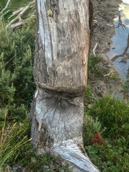 Tree damaged my the beavers